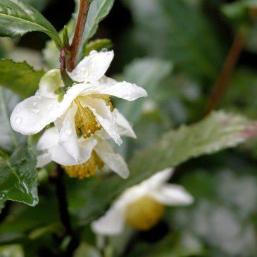 Flower of Camellia sinensis ,Teebluete,차꽃