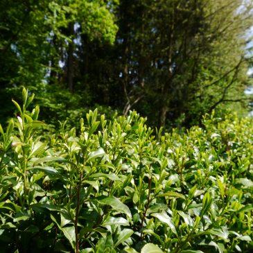Teeernte im Bergischen Land 2016