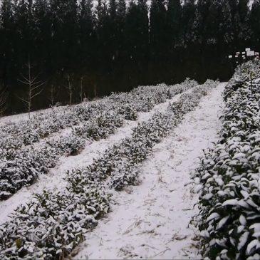 Schnee im Teegarten